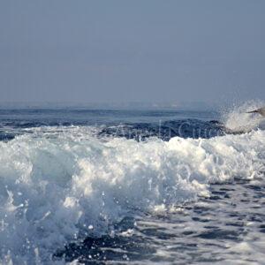 Delfino in  salto